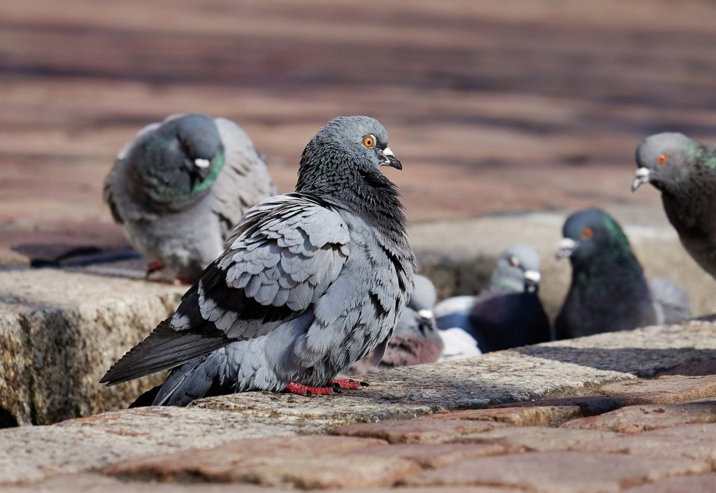 pigeon fouling cleaning in Glasgow